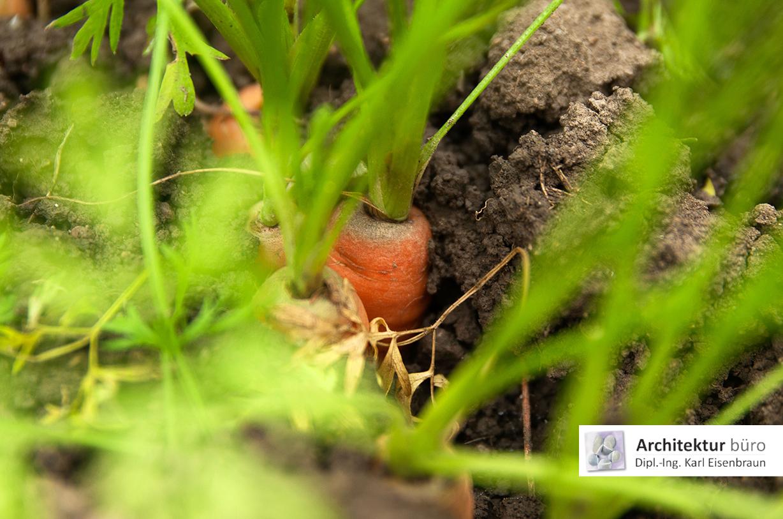 Reife Möhre vor der Ernte